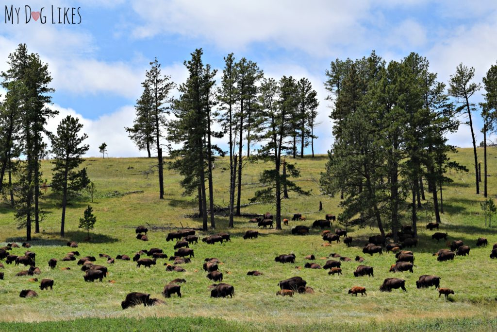 Custer is home to one of the largest Buffalo herds in the world!