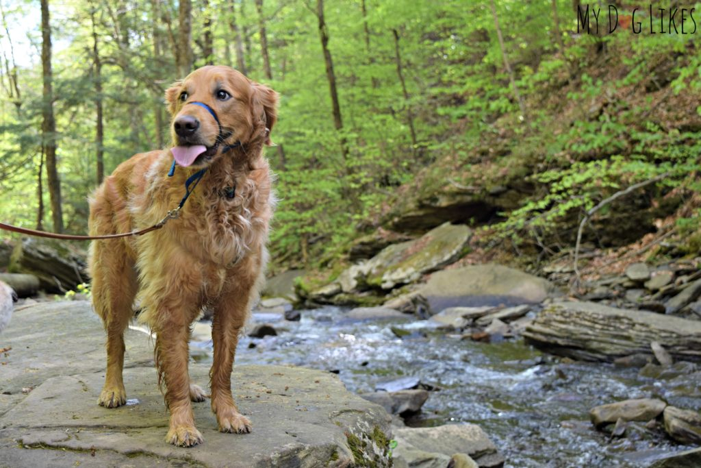 Golden Retriever along Kitchen Creek