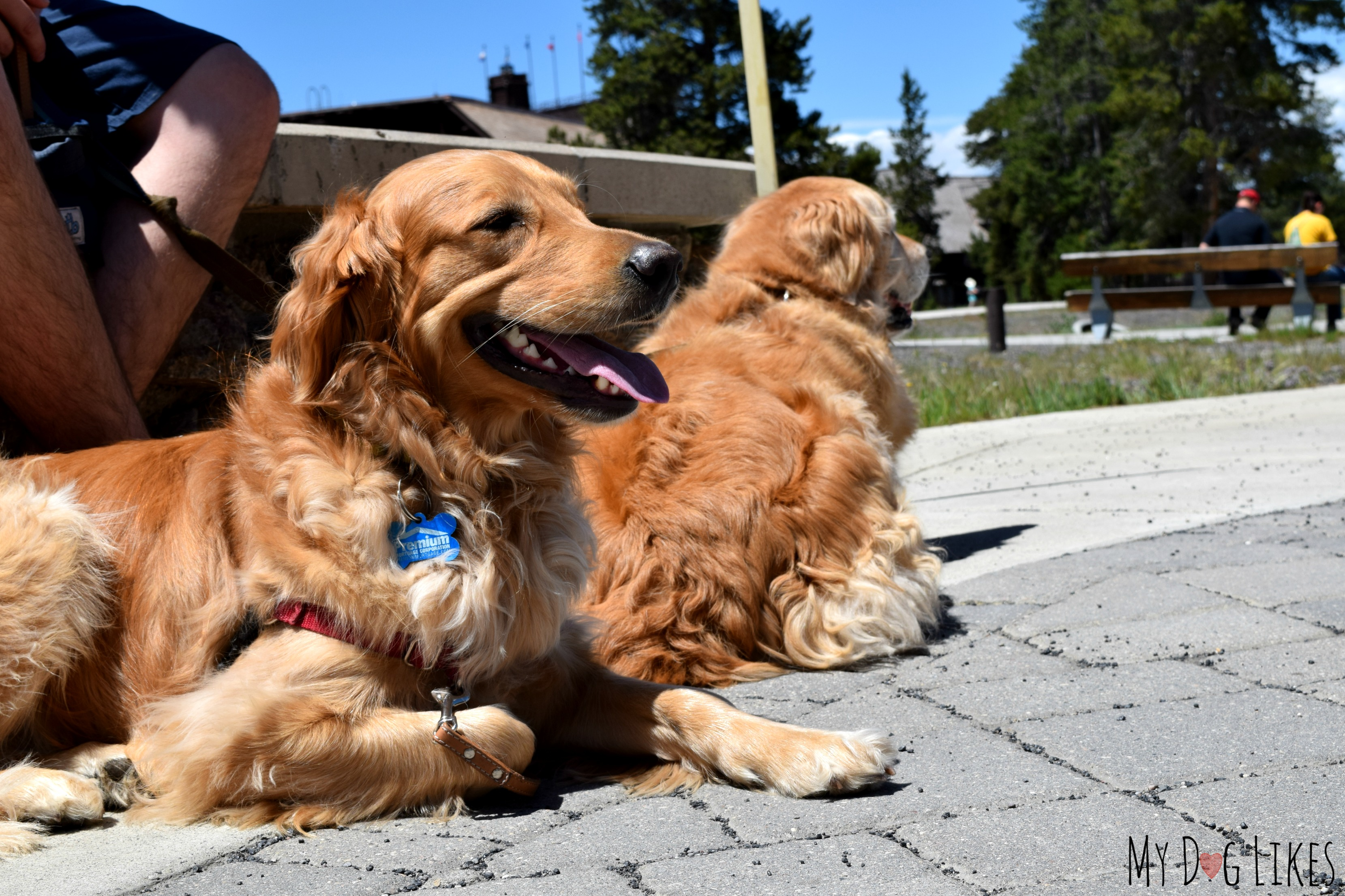 Visiting Yellowstone National Park with Dogs