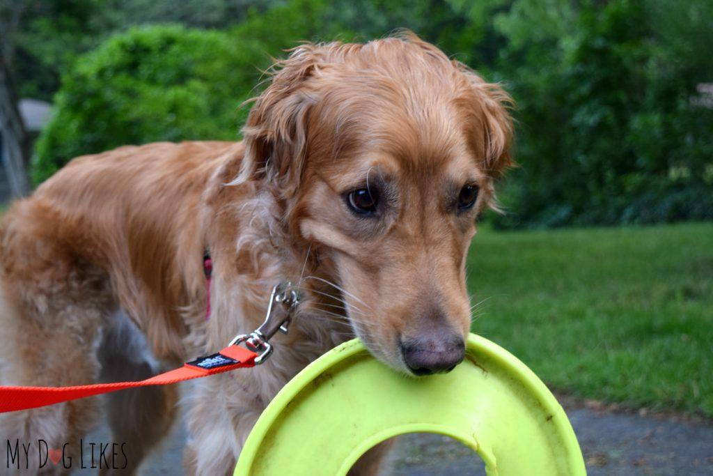 Dog carrying frisbee on walk