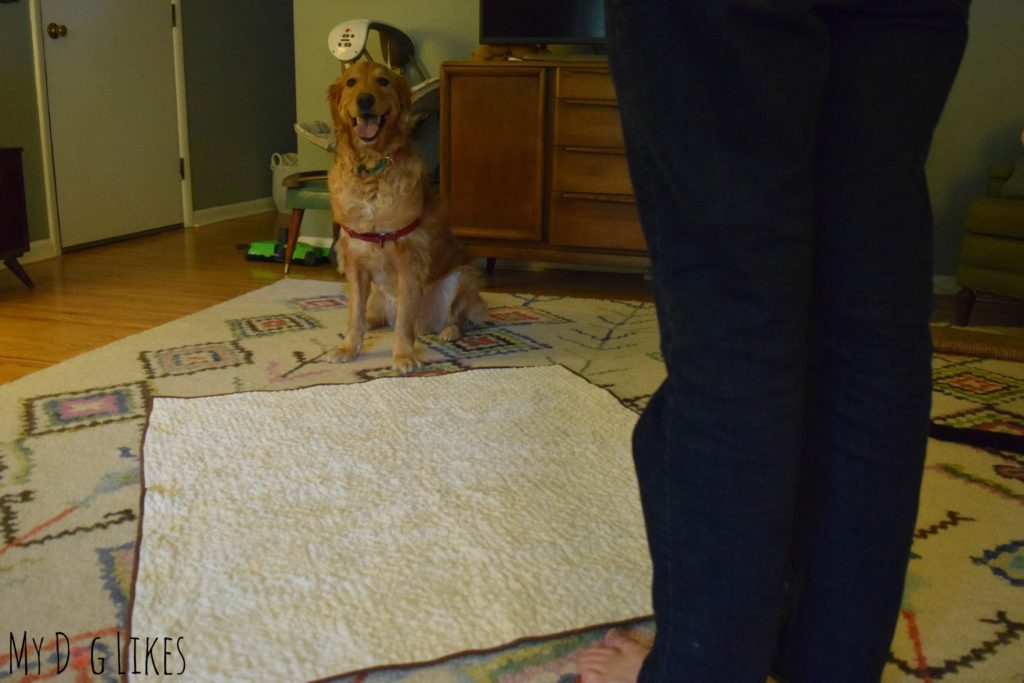 Practicing dog boundary training by teaching Charlie to stay OFF a blanket.
